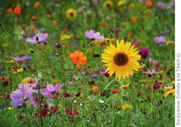 Эшшольция, подсолнечник, василек, ноготки, красный лен и другие растения, собранные вместе, образуют разноцветное море цветов.