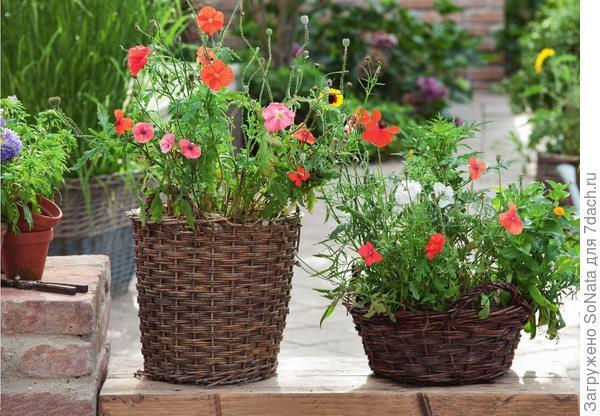 Посеянные в плетеной корзине разнообразные маки напоминают маковые заросли вдоль полей с зерновыми культурами.