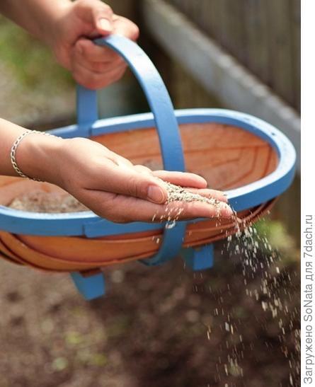 Семена посейте вразброс и слегка утрамбуйте почву дощечкой или специальным валиком.