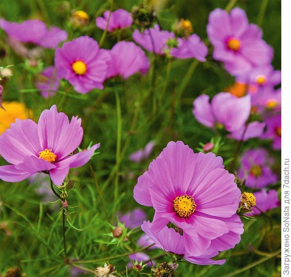 Космея входит в состав многих смесей и придает цветочному ковру воздушность.