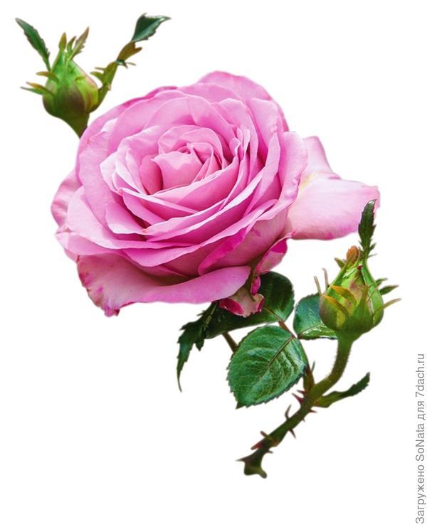 Чайно-гибридная роза 'Blue Girl'