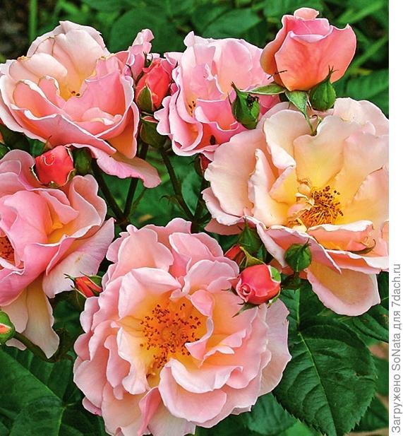 Роза 'Scented Whisper'
