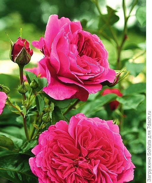 Роза 'Soul'