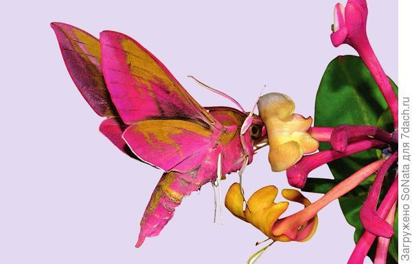 Бражник винный лакомится нектаром из цветка жимолости.
