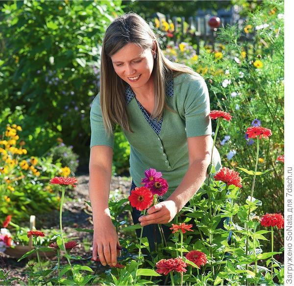 Регулярная срезка, лучше всего в ранние утренние часы, стимулирует циннию к образованию новых цветков.