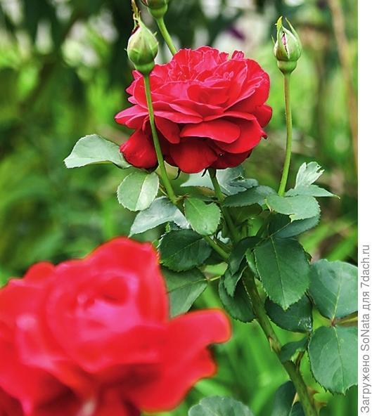 И тогда роза порадует вас обилием цветков.