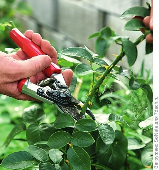 Сначала у розы желаемого сорта срежьте один зрелый отцветший побег