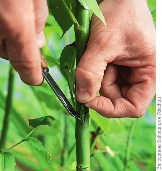 Острием ножа подденьте кору на месте надреза на подвое, немного отогните ее и поместите в возникший «кармашек» щиток с почкой сортового растения.