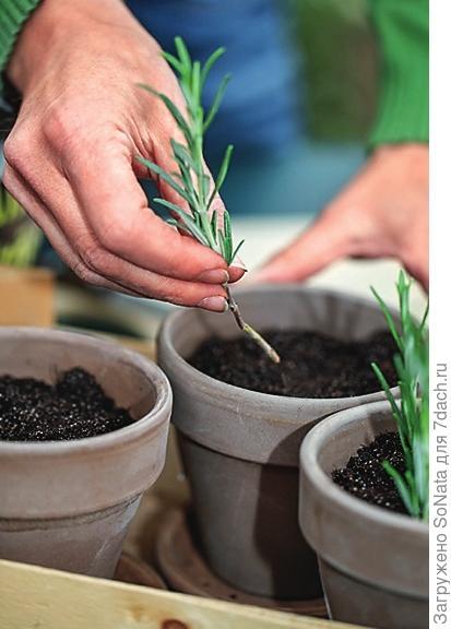 Посадите черенки в наполненные субстратом горшки, заглубив приблизительно на 5 см.