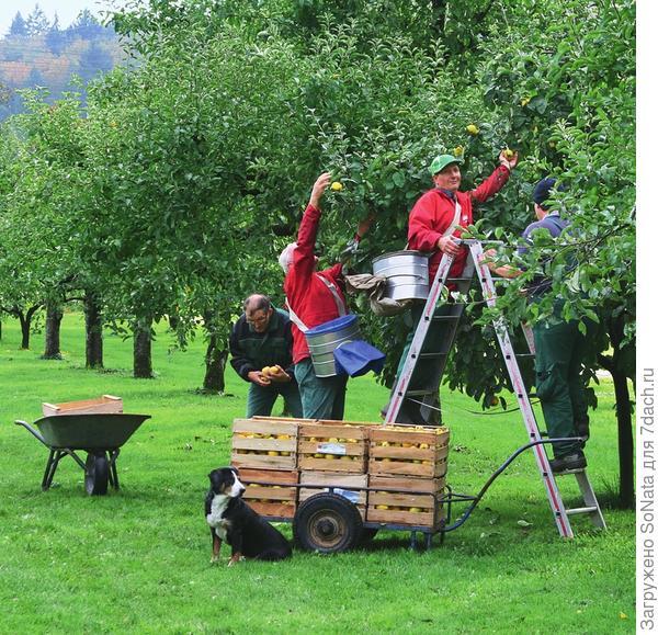 Уборка урожая начинается в конце сентября и длится в зависимости от сорта айвы и погодных условий примерно до конца октября.
