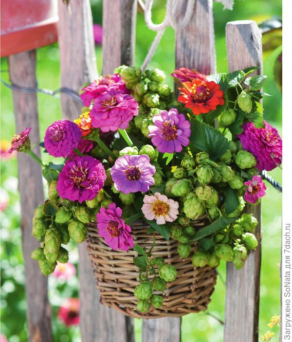 Летний привет у садовой изгороди передают циннии сочных оттенков, скомбинированые со светло-зеленым хмелем, который можно приобрести в цветочных магазинах