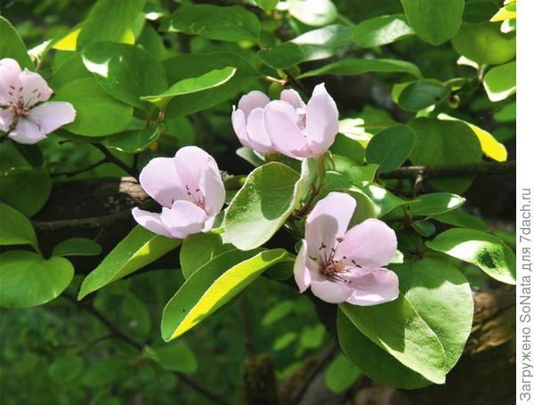Большие цветки айвы раскрываются только тогда, когда опасность поздних заморозков уже давно миновала, поэтому, даже если весна была прохладной, урожаю ничто не угрожает.