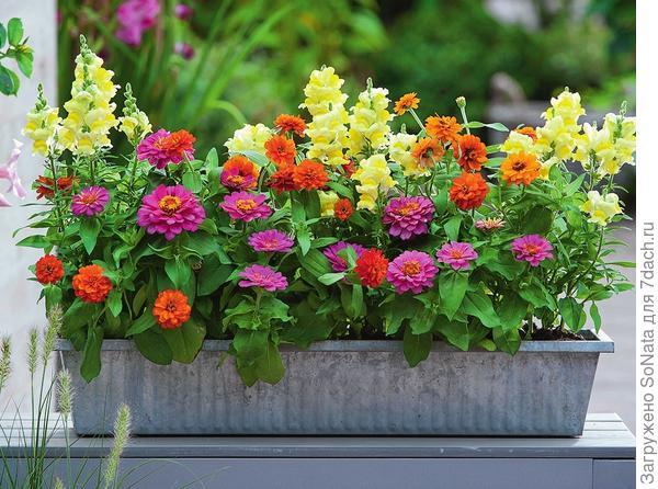 Низкорослые сорта цинний годятся для выращивания в цветочных ящиках.