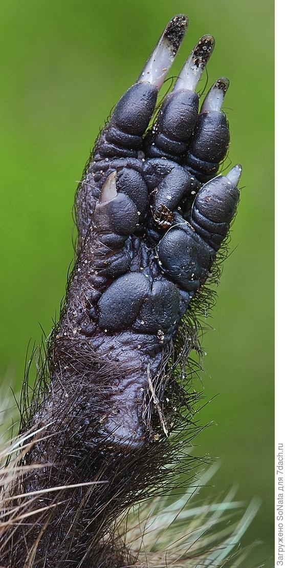 На лапках расположены крепкие острые когти, они нужны ежам для добычи пропитания.