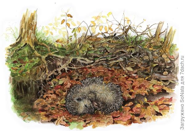 Для зимней спячки ежу требуется теплое, защищенное от непогоды гнездо.