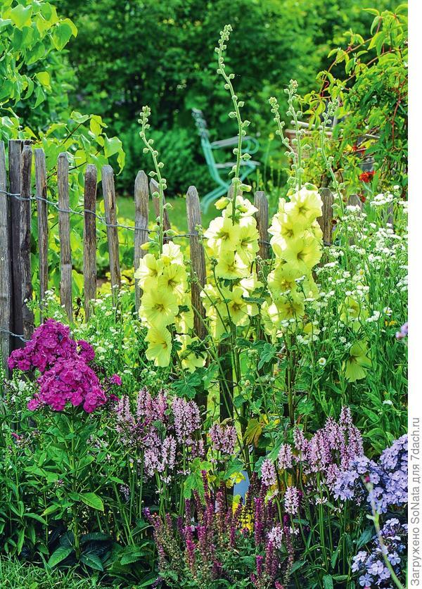 Шток-роза морщинистая Alcea rugosa с желтыми цветками  в компании с пурпурными и фиолетовыми флоксами и светло-розовым чистецом.