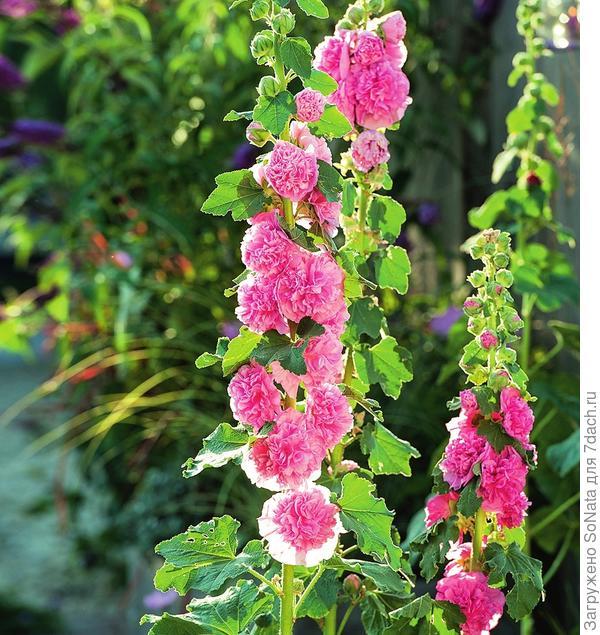 Махровая шток-роза розовая Alcea rosea Pleniflora Chaters