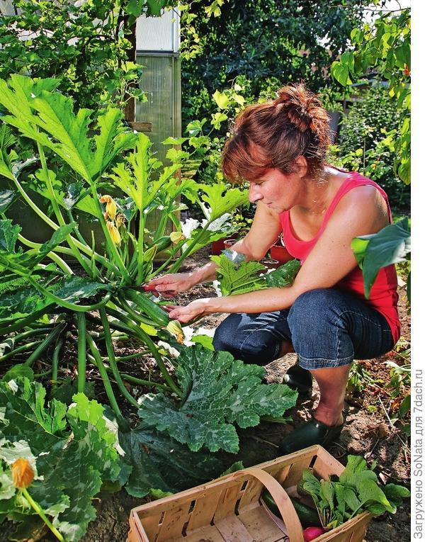 У цукини ранних сортов плоды можно собирать уже через 5-6 недель после высадки на грядку.