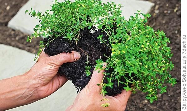 Большой корневой ком разделите руками на несколько частей такого размера, чтобы они легко поместились в швах.