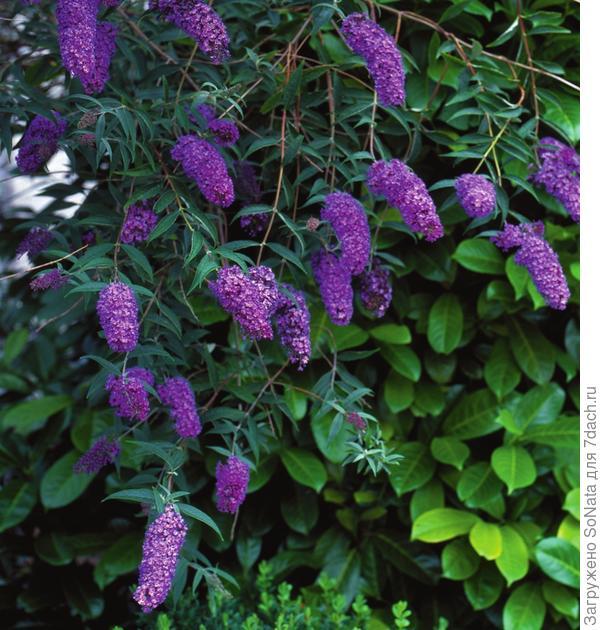 За душистые, чаще всего лиловые кисти буддлею порой называют летней сиренью.