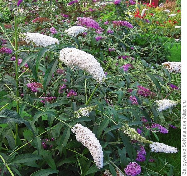 Если вам трудно подобрать нужный оттенок, гармонирующий с другими цветами вашего сада, смело выбирайте белоцветковую буддлею.