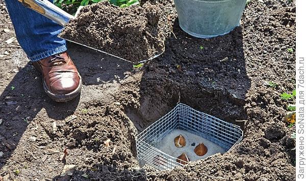 На дно посадочной ямки насыпьте дренажный слой из песка, на него поставьте коробку и в ней разложите луковицы.