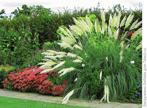 Кортадерия с эффектными метелками способна вырастать до 3 м, но в средней полосе зимует только с укрытием.