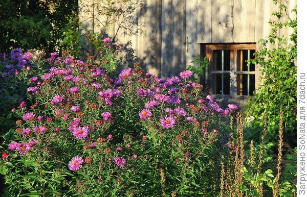 Цветки высоких астр купаются в мягком свете низкого солнца и привлекают внимание своей яркой розово-фиолетовой окраской.