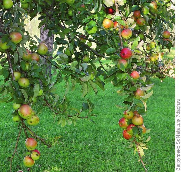 Спелые яблоки оттягивают вниз ветки старых деревьев.