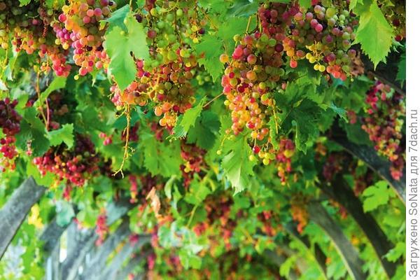Признак зрелости: когда у красноплодных сортов ягоды становятся полупрозрачными, можно смело срезать гроздья.