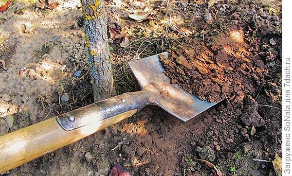 Сначала лопатой сформируйте полусферой верхнюю часть земляного кома, снимая землю слоями, начиная от ствола.