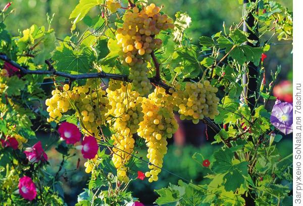 Вкусный плод для наших широт