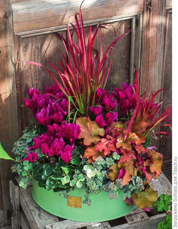 Розовоцветковому цикламену гармоничную компанию составили гейхера Marmelade, императа цилиндрическая и очиток Зибольда (Sedum sieboldi) с нежно-зелеными листьями