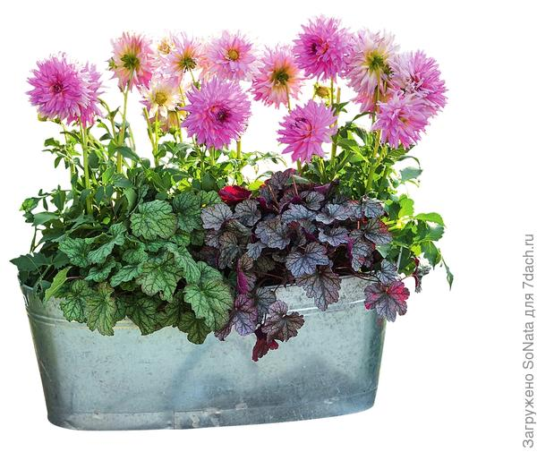 Яркие цветки георгин возвышаются над серебристо-зелеными листьями гейхеры Peppermint Ice и серебристо-красными Milan. Отливающая серебром оцинкованная емкость придает завершенность композиции.