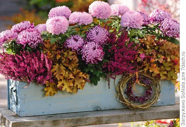 Розовые хризантемы с цветками-помпонами отлично сочетаются с вереском (Calluna) и гейхерой Marmelade