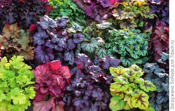 Сортимент гейхер с разной окраской листьев сейчас пополнили не менее красочные гейхереллы