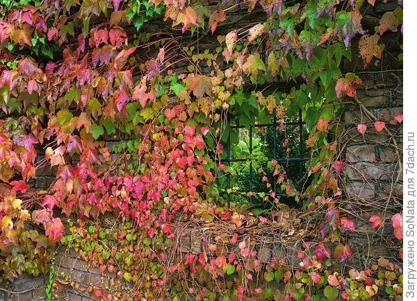 Каменные руины живописно декорировал девичий виноград с красными листьями.