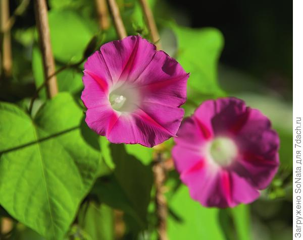 Цветки ипомеи пурпурной напоминают изящные тонкие воронки - лиловые, розовые, голубые, синие, белые или красные с белым горлом.