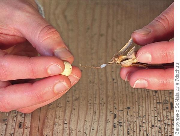 На черешок соплодия капните немного клея и наденьте деревянную бусину так, чтобы она сидела как можно ближе к листочкам и дайте высохнуть