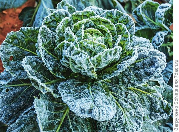 Если капуста остается на зиму на грядке, перед употреблением ее откапывают из-под снега и на несколько минут опускают в холодную воду.
