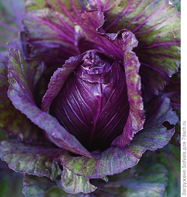 Шпицколь Kalibos - гибрид обычной шпицколь и краснокочанной капусты.