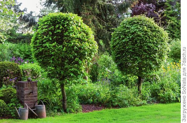 Кроне бука лесного (Fagus sylvatica) легко придать форму шара.
