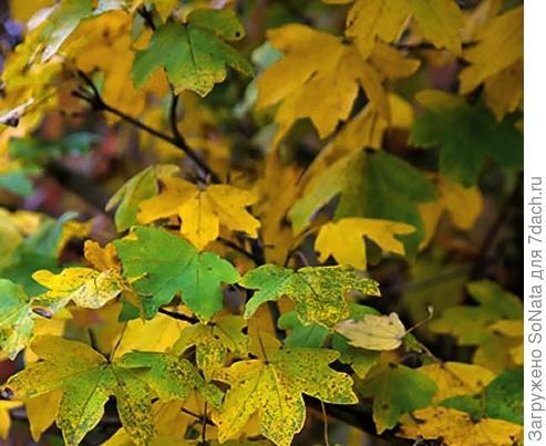 Клен полевой (Acer campestre) Nanum