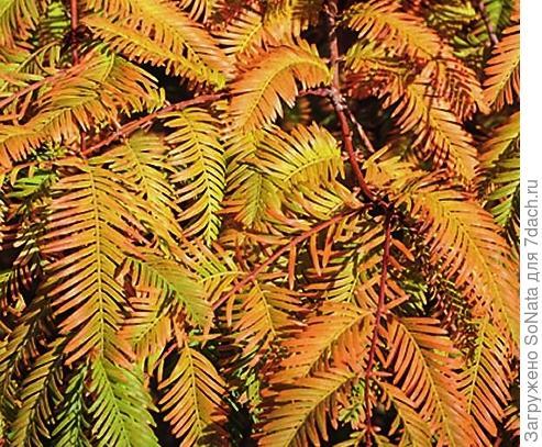 Метасеквойя глиптостробусовидная (Metasequoia glyptostroboides) Matthaei