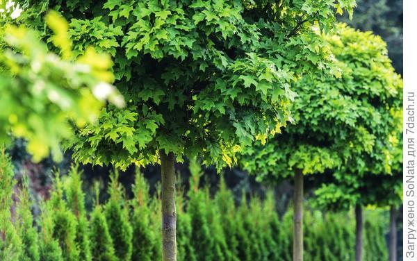 Дуб болотный (Quercus palustris) Green Dwarf растет медленно и отличается неприхотливостью.