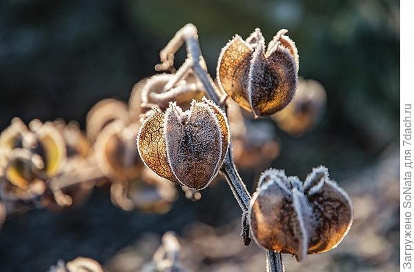 Маленькие фонарики напоминают плоды никандры (Nicandra).