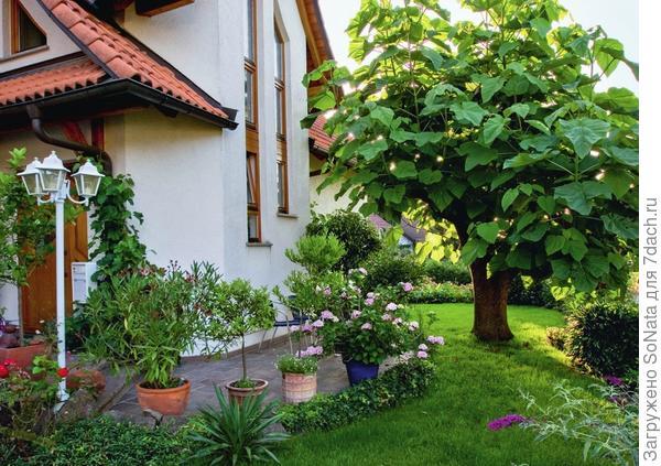 Павловния войлочная (Paulownia tomentosa) с крупными листьями великолепно притенит любое место отдыха.