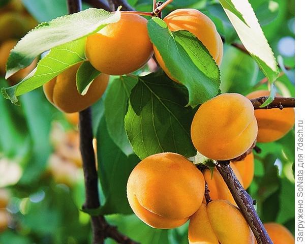 Триумф северный - один из самых надежных сортов абрикоса для Нечерноземья.
