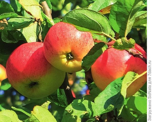 Сорт яблони Рождественское