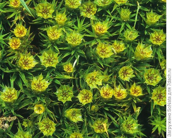 Политрихум можжевельникоподобный (Polvtrichum juniperinum)